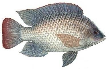 Into florida fish for Is tilapia a bottom feeder fish